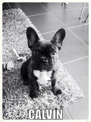Calvin, chien Bouledogue français