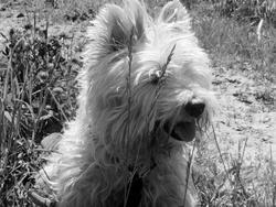 Hugo, chien West Highland White Terrier