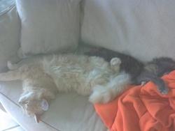 Hugo, chat Norvégien