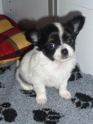 Hugo, chien Chihuahua