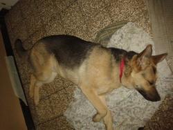 Hugo, chien Berger allemand