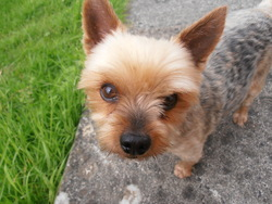 Hugo, chien Yorkshire Terrier