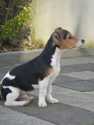 Hugo, chien Jack Russell Terrier