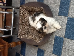 Hugo, chien Shih Tzu