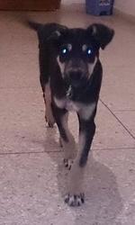 Hugo, chien Beauceron