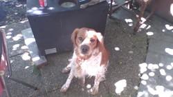 Hugo , chien Épagneul breton