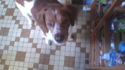 Hugo, chien Épagneul breton
