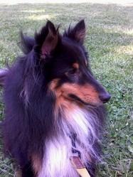Hugo, chien Berger des Shetland