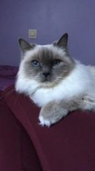 Hugo, chat Birman