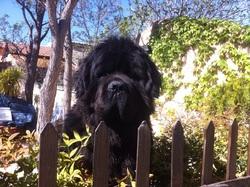 Hugo, chien Terre-Neuve