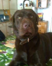 Hugo De La Pellouseray, chien Labrador Retriever