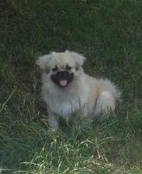Hugo Le Tibby, chien Épagneul tibétain
