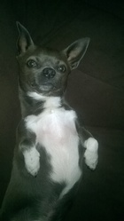 Hugot, chien Chihuahua