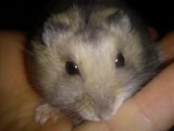 Hugrom, rongeur Hamster