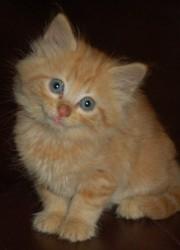 Huguette , chat Somali