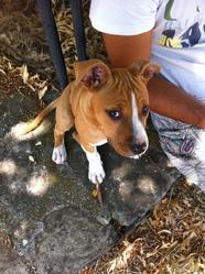 Huki, chien American Staffordshire Terrier