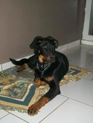 Hulk, chien Beauceron