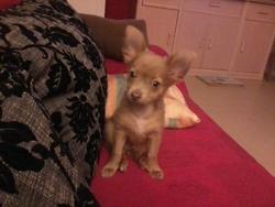 Hulk, chien Chihuahua