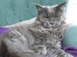 Happy Hulk, chat Maine Coon