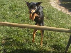 Hulk, chien Pinscher