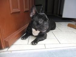 Hulk, chien Bouledogue français