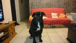 Hulk, chien Cane Corso