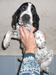 Hulk Du Ruisseau De Montbrun, chien Braque d'Auvergne