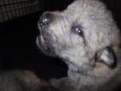 Hulky, chien Chien-loup tchèque
