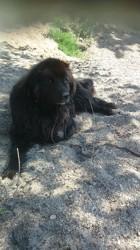 Hulky, chien Terre-Neuve