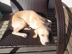 Hulla, chien Labrador Retriever