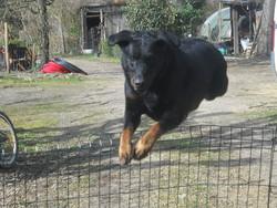 Hulma, chien Beauceron
