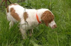 Hulotte, chien Épagneul breton