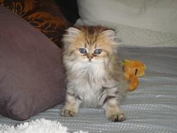 Hulotte, chat Persan