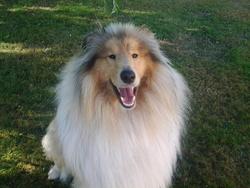 Hulysse , chien Colley à poil long