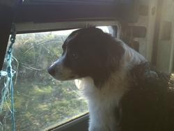 Hulysse, chien Border Collie