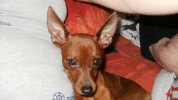 Hummer, chien Pinscher