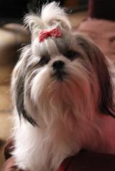 Huna, chien Shih Tzu