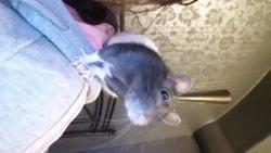 Hungaria Rip, rongeur Rat