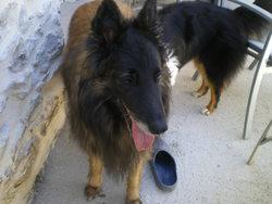 Hungaro, chien Berger belge