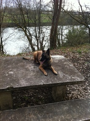 Hunt, chien Berger belge