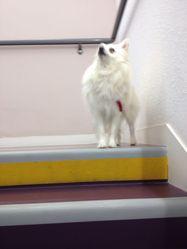 Hunter, chien Spitz japonais