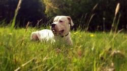Hunter, chien Dogue argentin