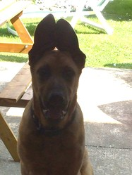 Hunter, chien Berger allemand