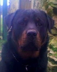 Hunter, chien Rottweiler