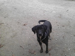 Hurky, chien