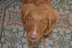 Hurley, chien Retriever de la Nouvelle-Écosse