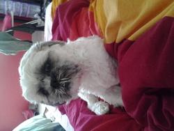 Hurley, chien Shih Tzu