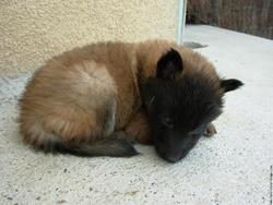 Hushka, chien Berger belge