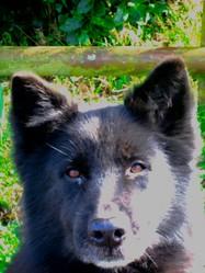 Husky, chien