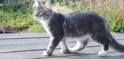 Huston, chat Maine Coon